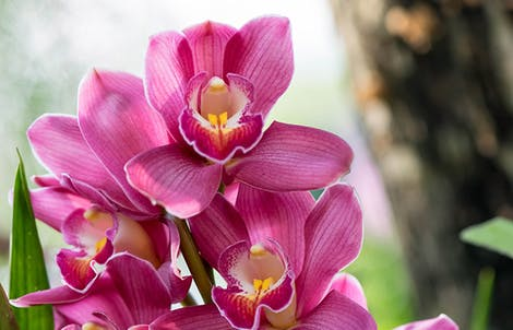 Photograph of cymbidium orchids