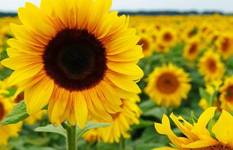Photograph of sunflowers