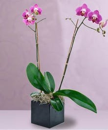 Phalaenopsis orchid plant in a custom container.