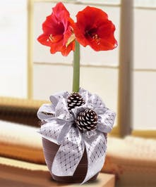 Beautiful Amaryllis Planter