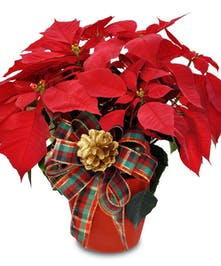 Christmas Poinsettia Wilmington (NC) Julia's Florist